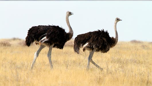 az_ostriches
